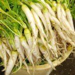 伝統野菜in秋田 平良かぶ