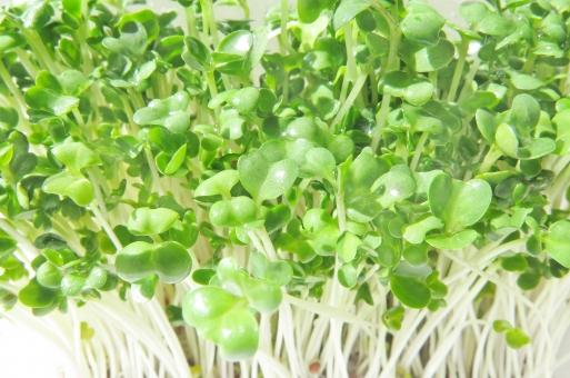 ブロッコリー スプラウト 栄養