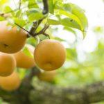 梨の希少品種『新甘泉』『サンゴールド』